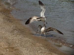 seagulls-wicklund